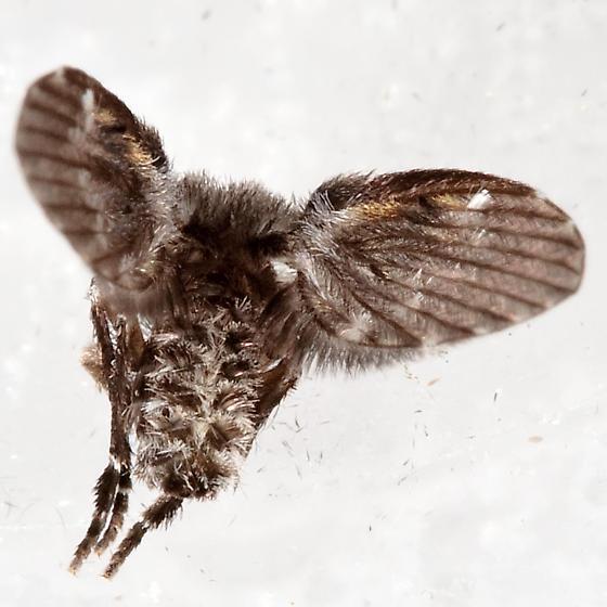 Large Moth Fly - Clogmia