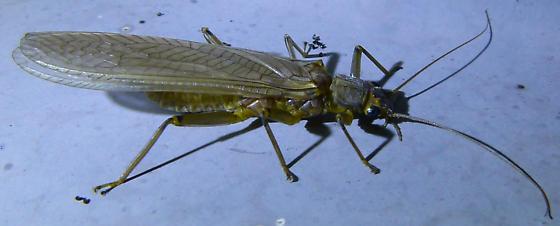 Unknown Plecoptera?