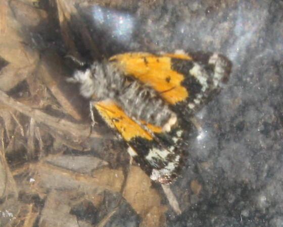 Ghost Moth - Annaphila astrologa