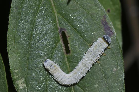 Dogwood Sawfly Larva - Macremphytus testaceus