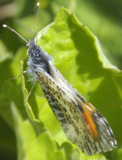Desert orange-tip - Anthocharis cethura