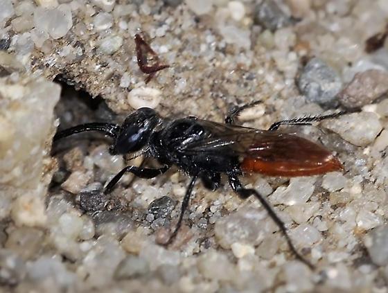 Dryudella Sand Wasp, sp. - Dryudella - female