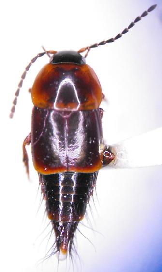 Staph 119 - Nitidotachinus tachyporoides - male