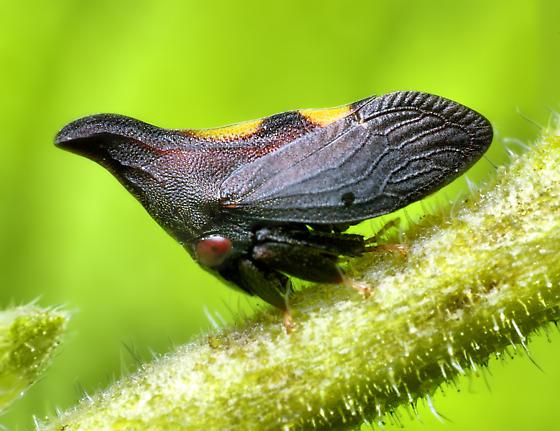 Thorn Mimic Treehopper (Enchenopa?) - Enchenopa