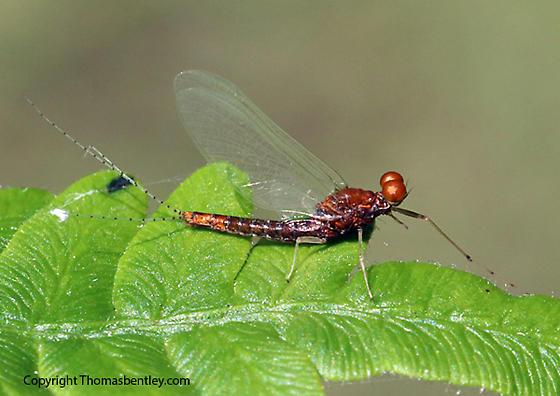 Mayfly - Eurylophella aestiva - male