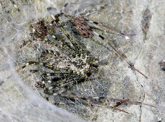 Lampshade Weaver - Hypochilus pococki - female