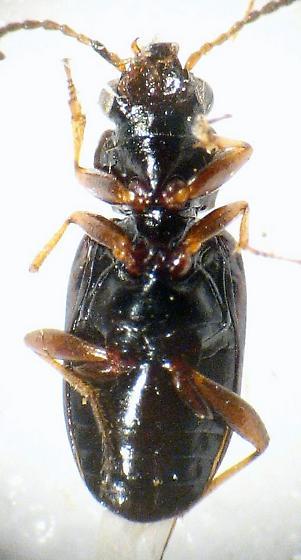 small carabid - Bembidion rapidum
