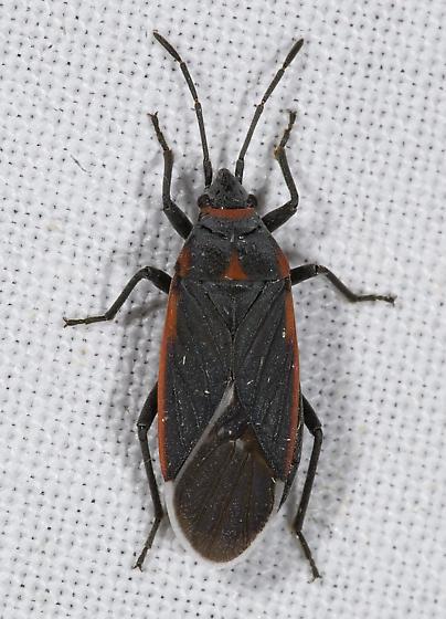 6024825 - Melacoryphus lateralis