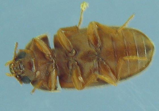 Cliptophagidae? - Typhaea stercorea
