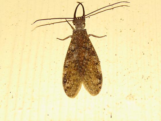 6 in large bug in Connecticut - Corydalus cornutus