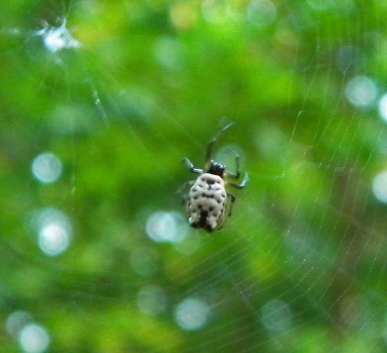 funky tiny orb weaver - Micrathena mitrata