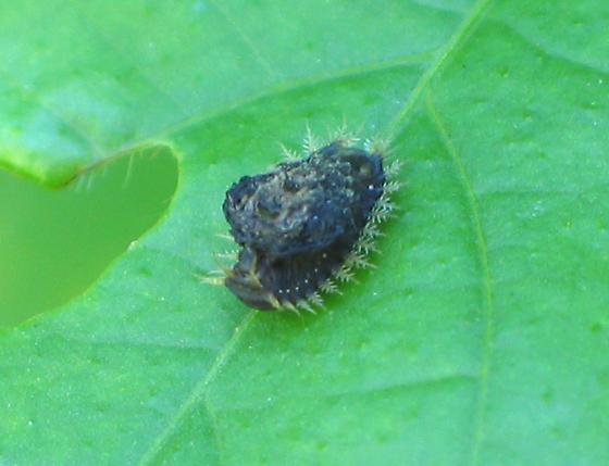 Golden Tortoise Beetle Larva - Charidotella sexpunctata