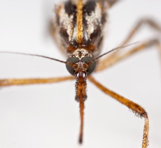 BG1768 E1000 - Psorophora ciliata - female