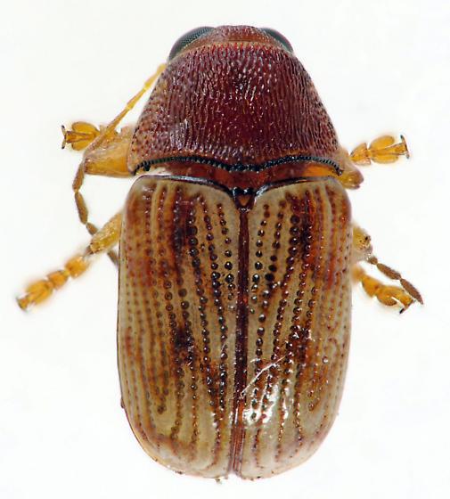 Leaf Beetle - Cryptocephalus schreibersii