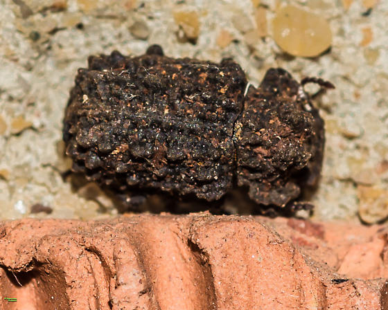Bolitotherus cornutus - Forked Fungus Beetle - Female ... for confirmation and record. - Bolitotherus cornutus - female