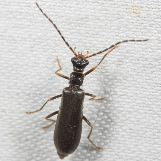 Malthacus puberulus? - Dichelotarsus puberulus
