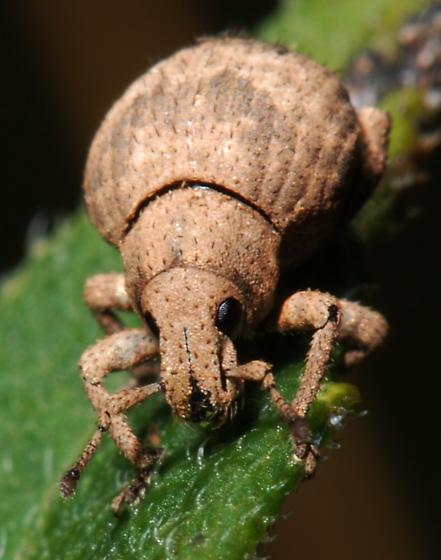 Broad-nosed Weevil - Pseudocneorhinus bifasciatus