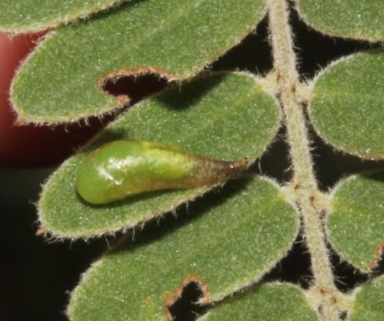 Syrphidae puparium - Sphaerophoria contigua - male