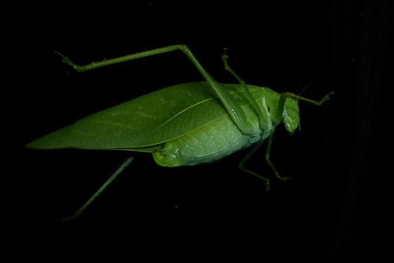 Katydid? - Microcentrum - female