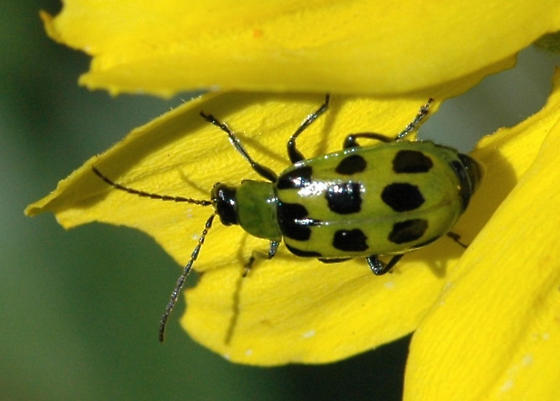 Spotted cucumber beetle for California in November - Diabrotica undecimpunctata