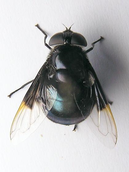 Metallic Blue - Copestylum mexicanum - female