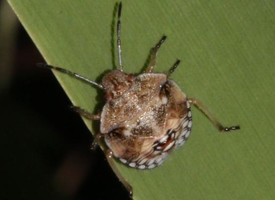 Thyanta custator ssp. accerra - Thyanta custator