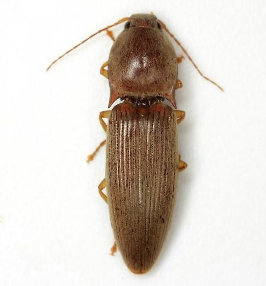 Conoderus lividus (De Geer) - Conoderus lividus