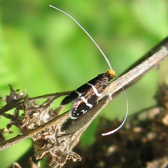 Gelechioidea 6-24-10 01b - Adela septentrionella - female