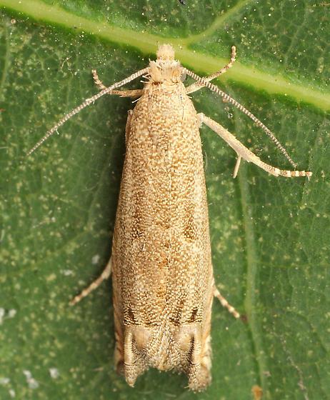 Moth ID - Epiblema strenuana