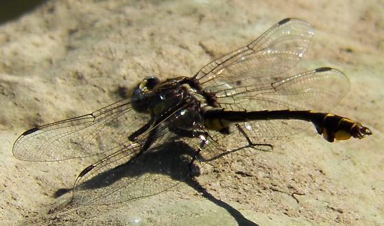 Dragonfly 060913 - Gomphurus ozarkensis