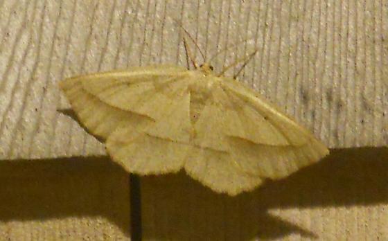 Least-marked Euchlaena (Euchlaena irraria) - Euchlaena
