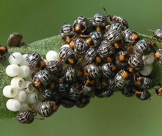 Green Stink Bug (Acrosternum hilare) Eggs and First Instars - Chinavia hilaris