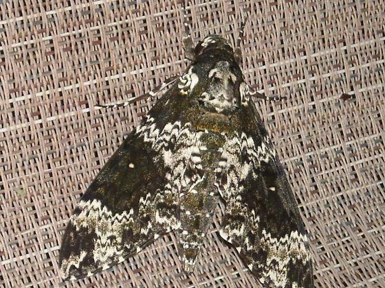 Beautiful Moth! - Manduca rustica