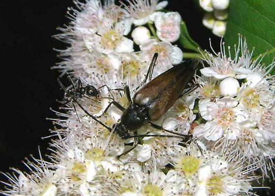 NH lepturinae for ID - Etorofus plebejus