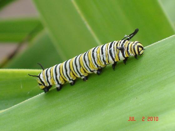 Whiteyellowblack Striped Caterpillar Danaus Plexippus