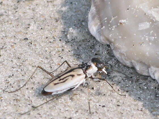 More beach beetles - Habroscelimorpha dorsalis