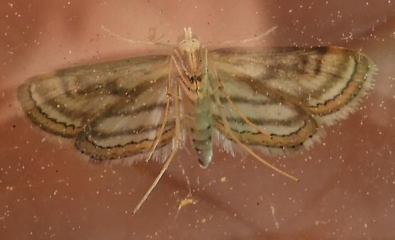 Pond weed moth - Parapoynx badiusalis