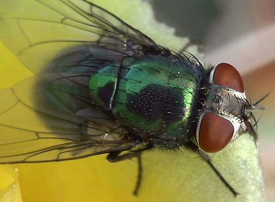 Green Blow Fly Close Ups (dorsal thorax & head) - Lucilia mexicana - female