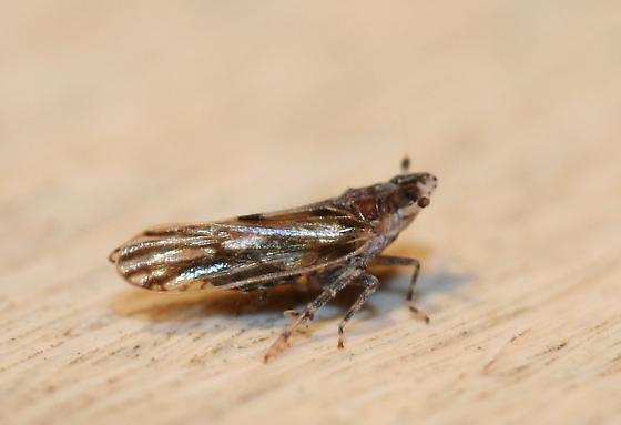 Delphacidae - Megamelus gracilis