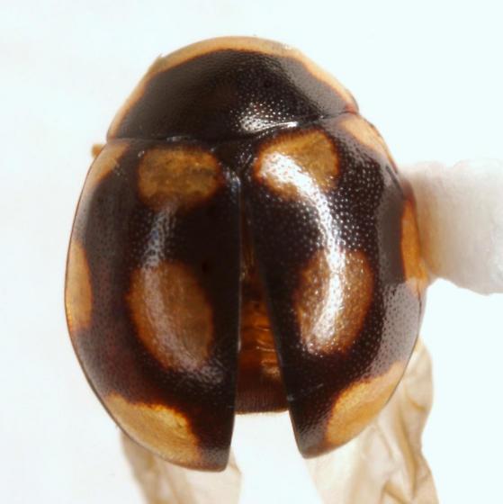Hyperaspis troglodytes Mulsant - Hyperaspis troglodytes - male