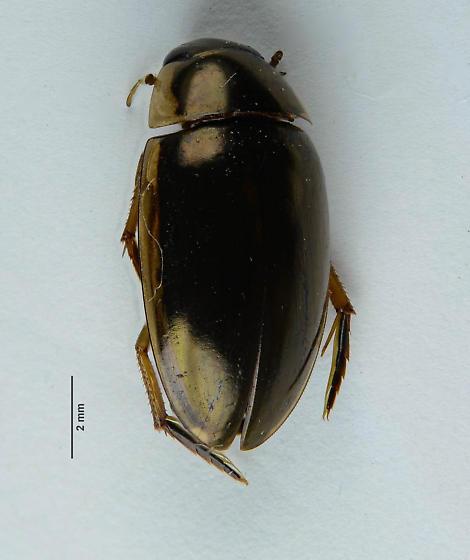 Tropisternus? - Tropisternus lateralis