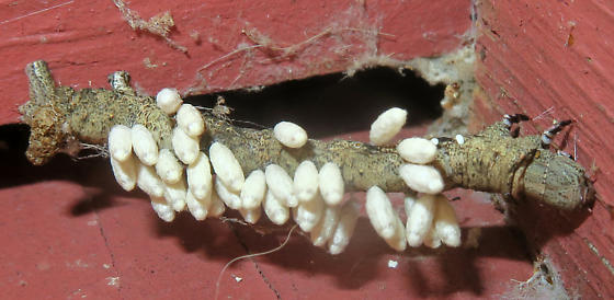 Geometer caterpillar parasitized by Braconid Wasp