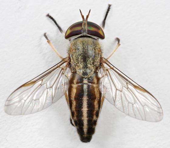 BG1699 E2319 - Tabanus lineola - female