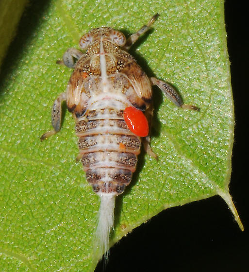 Hopper nymph