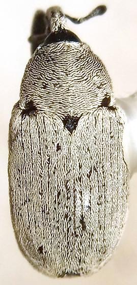 Trichobaris bridwelli Barber - Trichobaris bridwelli