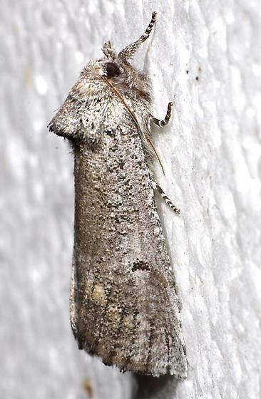 Aon noctuiformis - female