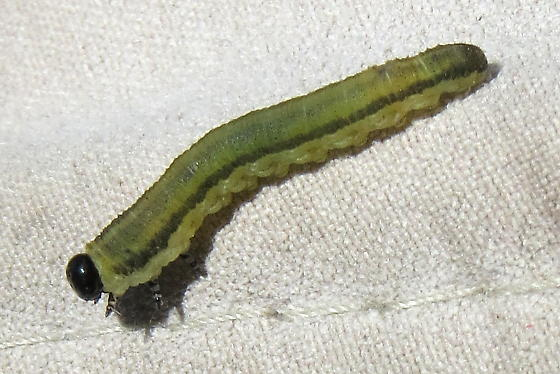 Sawfly larva ID? - Neodiprion