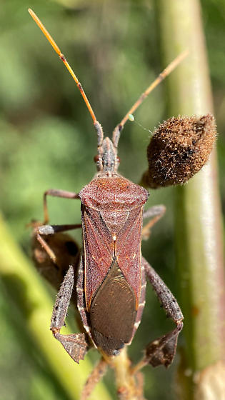 Leptoglossus, maybe L concolor or oppositus? - Leptoglossus concolor