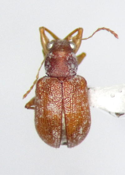 Xanthonia villosula - male