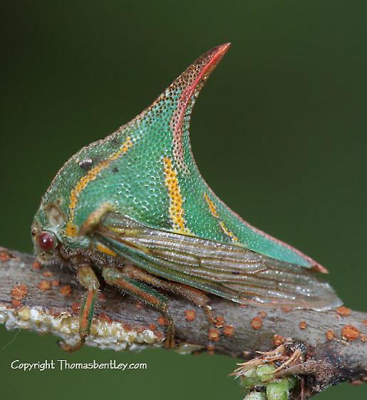 thorny hopper - Umbonia crassicornis - female